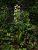 grünliche Kuckucks-Orchidee
